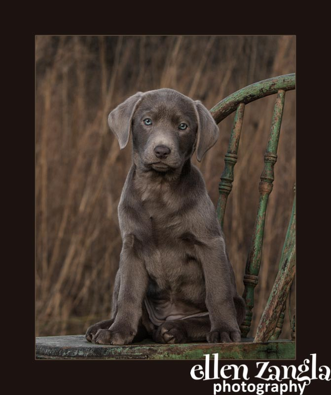 Ellen Zangla Photography, Dog Photographer, Loudoun County, Lab Puppy Photo