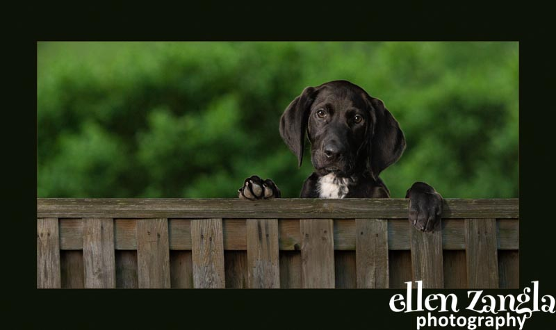 Ellen Zangla Photography, Dog Photographer, Loudoun County, Puppy Photo