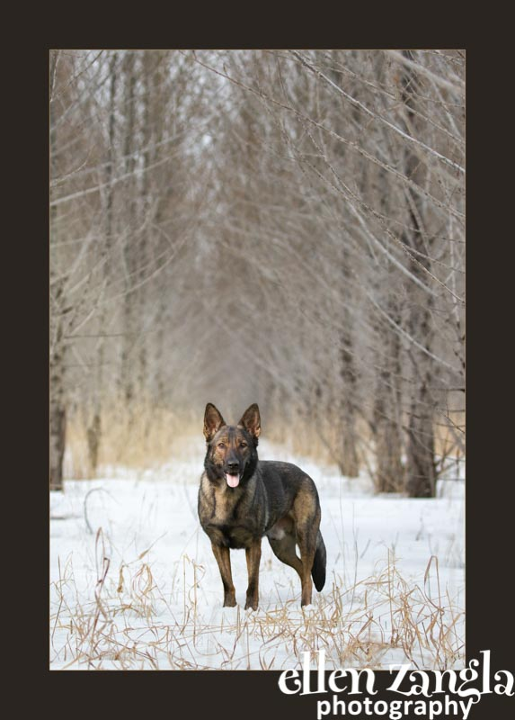 Ellen Zangla Photography, Dog Photographer, Loudoun County, German Shepherd Dog Photo