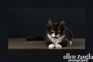 Kitten Photos, Loudoun County, Cat Photographer, Ellen Zangla Photography