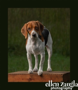 Dog Photographer, Loudoun County, Ellen Zangla Photography, Beagle Photo