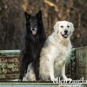 Ellen Zangla Photography, Loudoun County Dog Photographer, Belgian Shepherd, English Cream Golden Retriever