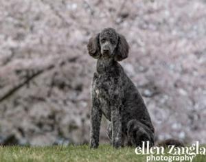 Double doodle, Labradoodle, Goldendoodle, Loudoun County Dog Photographer,