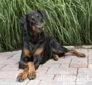 Doberman, Loudoun County Dog Photographer, Ellen Zangla Photography