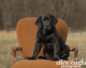 Black Lab puppy photo by Ellen Zangla Photography in Loudoun County VA