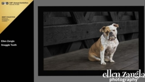 Ellen Zangla Photography, Loudoun County Pet Photographer, Bulldog Photo
