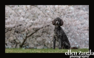 Loudoun County Dog Photographer, Doodle Photo, Ellen Zangla Photography