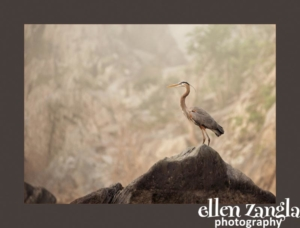 Heron Photograph, Ellen Zangla Photography