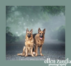 Ellen Zangla Photography, Loudoun County Dog Photographer, German Shepherd Photo