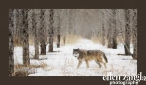 Wolf Photograph, Ellen Zangla Photography, Wildlife Photographer