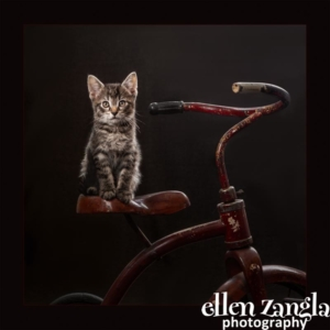 Ellen Zangla Photograpy, Loudoun County Pet Photographer, Kitten Photo