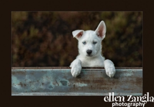Ellen Zangla Photography, Loudoun County Dog Photographer, Siberian Husky Puppy