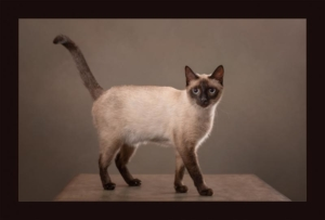 Ellen Zangla Photography, Loudoun County Pet Photographer, Loudoun County Cat Photographer, Siamese Cat