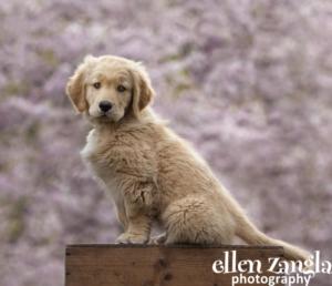 Ellen Zangla Photography, Puppy photos, Leesburg VA