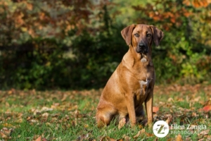 Photograph of Redbone Coonhoun Mix outside in the fall