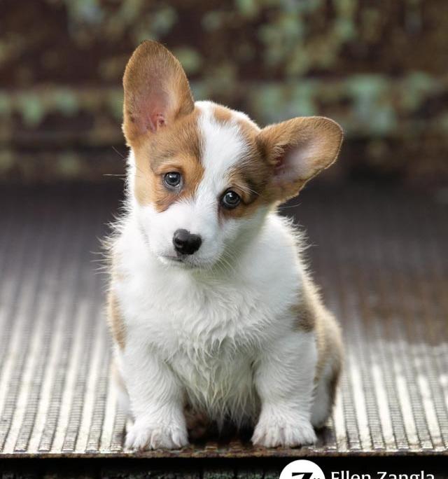 Photo of Corgi puppy taken by Ellen Zangla Photography in Loudoun County, VA.