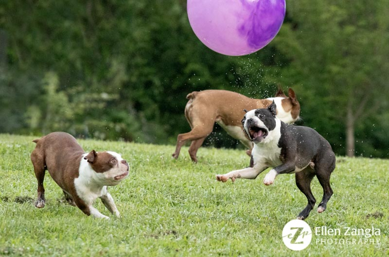 Photograph of Boston Terriers playing outside taken by Ellen Zangla Photography in Loudoun County, VA.