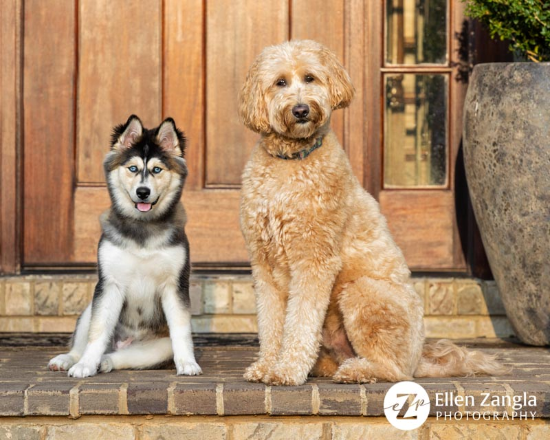 Photo of Pomski and Goldendoodle taken in Leesburg, VA, by Ellen Zangla Photography.