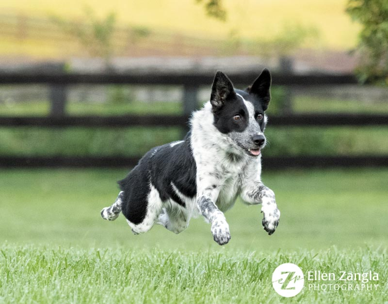 Photograph of Aussie mix jumping taken by Ellen Zangla Photography in Northern Virginia.