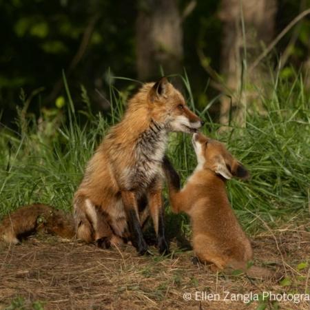Fox kit with parent photo by Ellen Zangla Photography