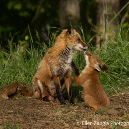 Photo of fox kit and parent touching noses by Ellen Zangla Photography