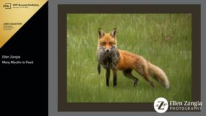 Award-winning photo of fox with kill by Ellen Zangla Photography