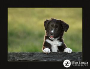 Award-winning puppy photo by Ellen Zangla Photography in Loudoun County VA