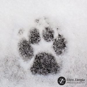 Dog's footprint in the snow in Loudoun County VA by Ellen Zangla Photography
