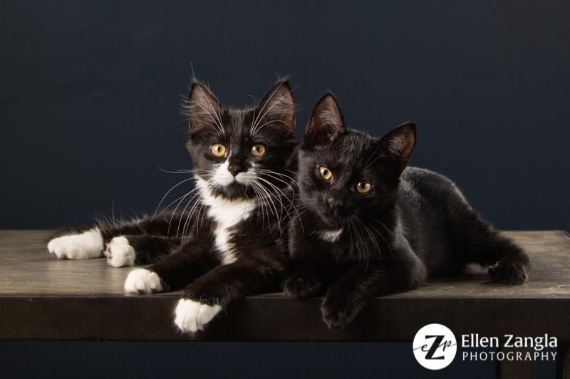 Photo of two black kittens in Loudoun County VA by Ellen Zangla Photography