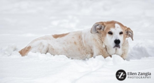 Dog lying in the snow by Ellen Zangla Photography in Loudoun County