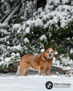 Photo of dog in the snow by Ellen Zangla Photography in Loudoun County VA