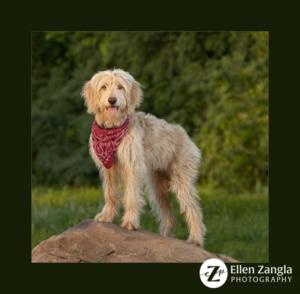 Award-winning Goldendoodle puppy photo by Ellen Zangla Photography in Loudoun County VA
