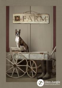 Award-winning Boston Terrier Photo by Ellen Zangla Photography in Loudoun County VA