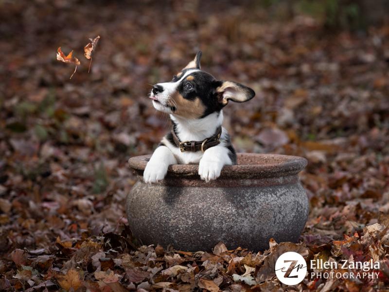Photo of Corgi puppy in Loudoun County VA by Ellen Zangla Photography