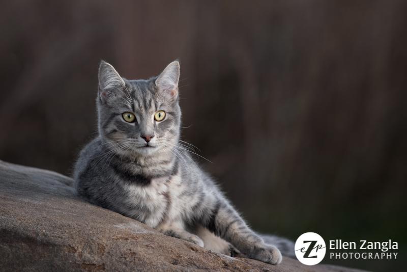 Cat photo by Ellen Zangla Photography in Loudoun County VA
