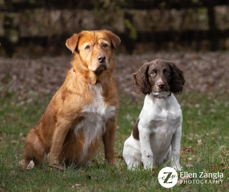 Photo of Springer Spaniel puppy and Duck Toller bu Ellen Zangla Photography in Loudoun County VA