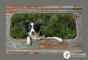Award-winning photo of Border Collie puppy by Ellen Zangla Photography in Loudoun County VA