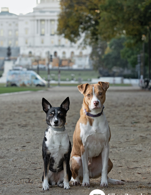 Photo of two mixed breed dogs in front of the Washington Capitol by Ellen Zangla Photography