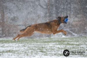 Photo of dog jumping in the snow in Loudoun County by Ellen Zangla Photography