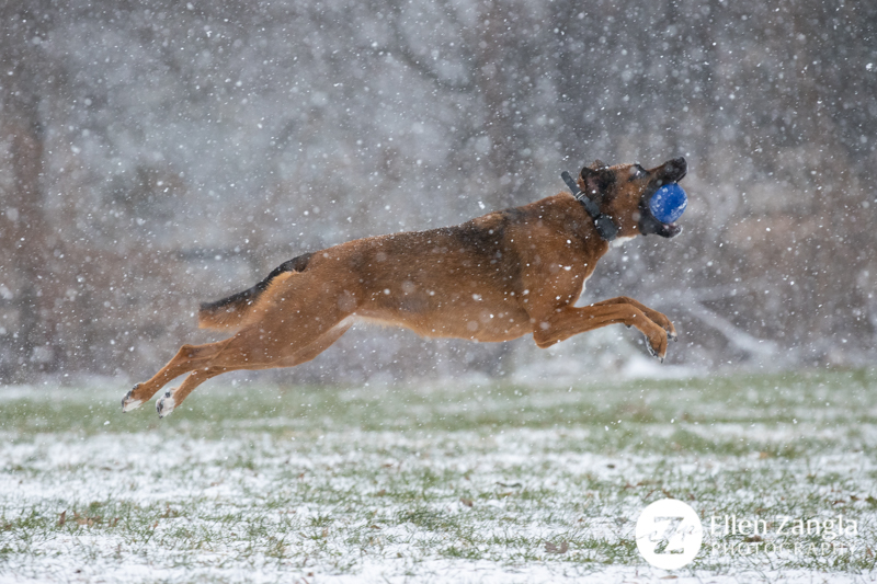 Photo of dog running in the snow in Loudoun County VA by Ellen Zangla Photography