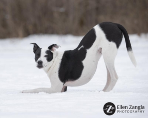 Photo of black and white dog in the snow in Loudoun County by Ellen Zangla Photography