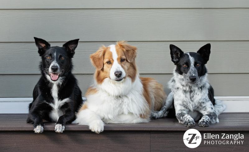 Photo of three Australian Shepherd or Border Collie mixes by Ellen Zangla Photography in Loudoun County VA