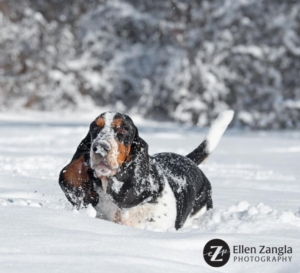 Basset Hound Snow Photo by Ellen Zangla Photography in Loudoun County VA