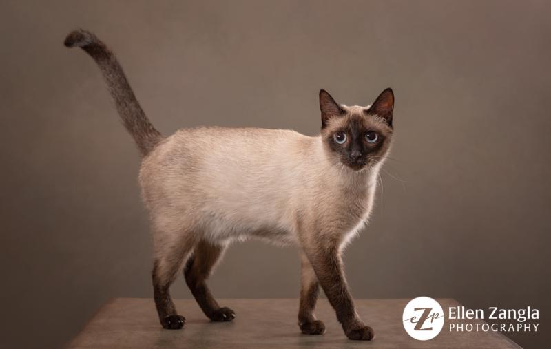Siamese cat photo by Ellen Zangla Photography