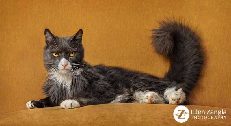 Cat photo taken in Loudoun County by Ellen Zangla Photography
