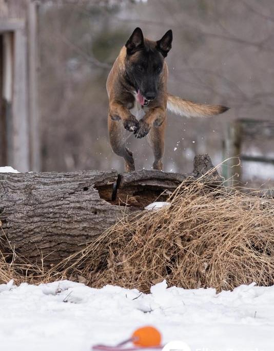 Malinois, Dog Photographer, Loudoun County