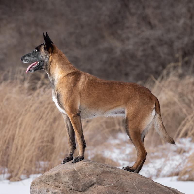 Belgian Malinois, Loudoun County, Dog Photographer