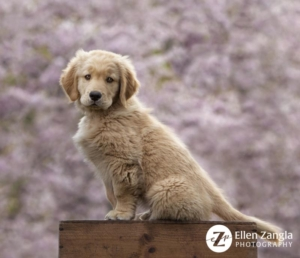 Spring photo tips with photo of Golden Retriever Puppy in front of cherry blossoms