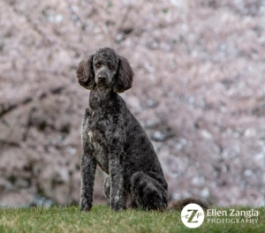 Photo of dog in front of cherry blossoms in Loudoun County, VA
