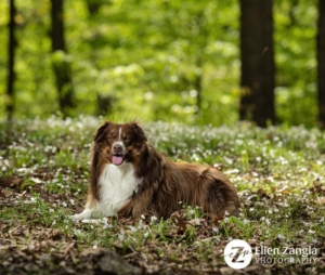 Spring photo tips with photo of Mini Aussie in the flowers